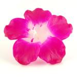 deep-pink-hibiscus-large